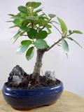 ficus panda carmens bonsai garten online shop f r bonsai pflanzen b ume bonsai d nger schalen. Black Bedroom Furniture Sets. Home Design Ideas