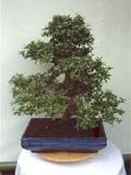fukientee carmens bonsai garten online shop f r bonsai. Black Bedroom Furniture Sets. Home Design Ideas