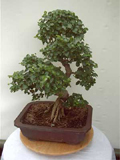 liguster carmens bonsai garten online shop f r bonsai. Black Bedroom Furniture Sets. Home Design Ideas