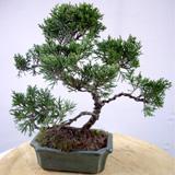 chinesischer wacholder carmens bonsai garten online shop f r bonsai pflanzen b ume bonsai d nger. Black Bedroom Furniture Sets. Home Design Ideas