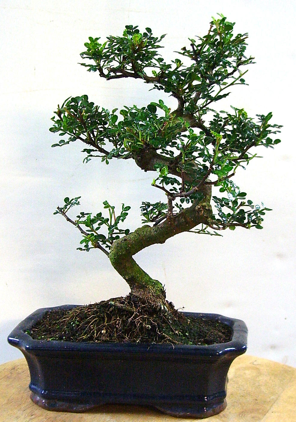pfefferbaum carmens bonsai garten online shop f r bonsai. Black Bedroom Furniture Sets. Home Design Ideas