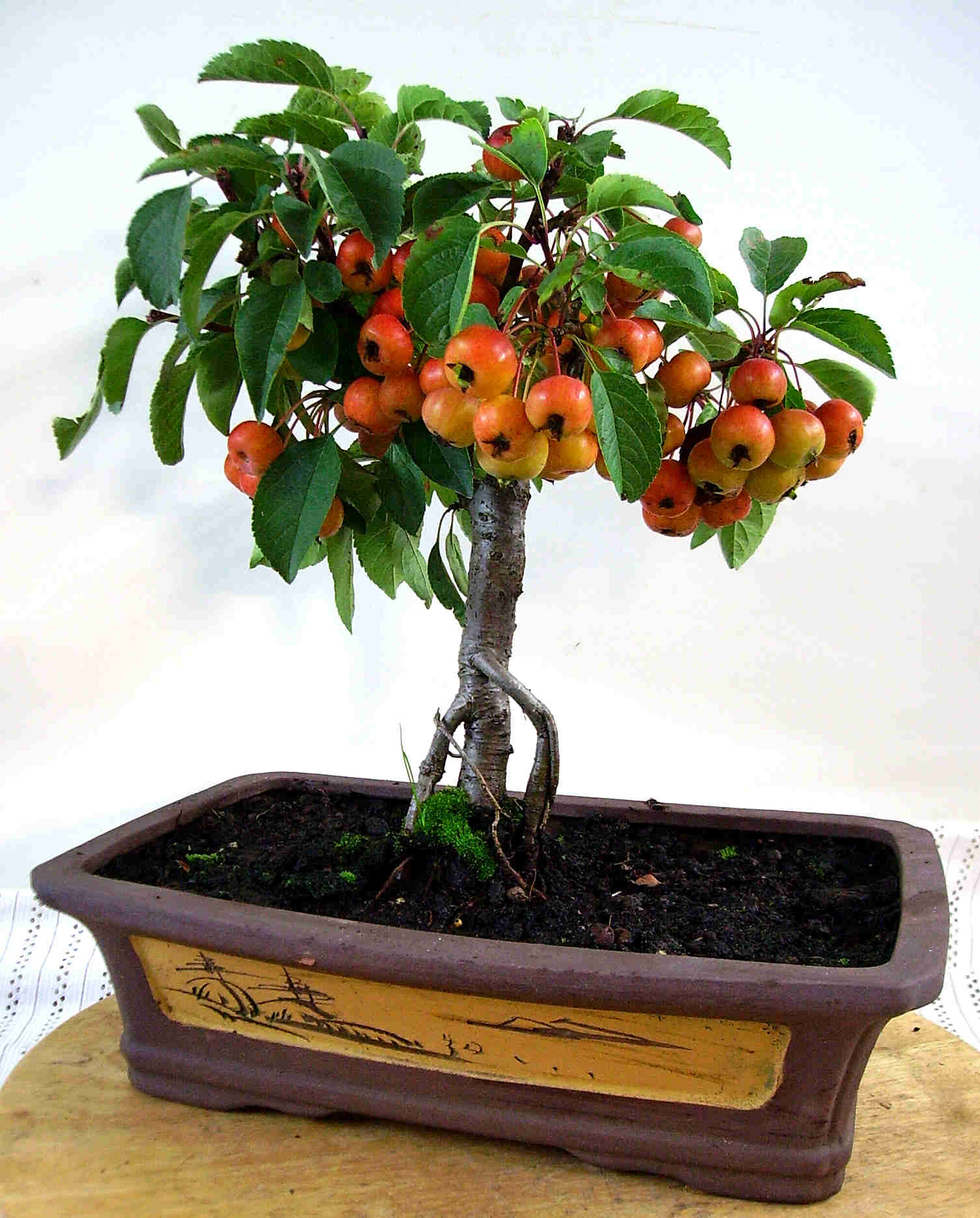 Apfelbaum carmens bonsai garten online shop f r bonsai for Bonsai onlineshop