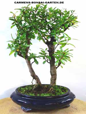 granatapfel carmens bonsai garten online shop f r bonsai. Black Bedroom Furniture Sets. Home Design Ideas