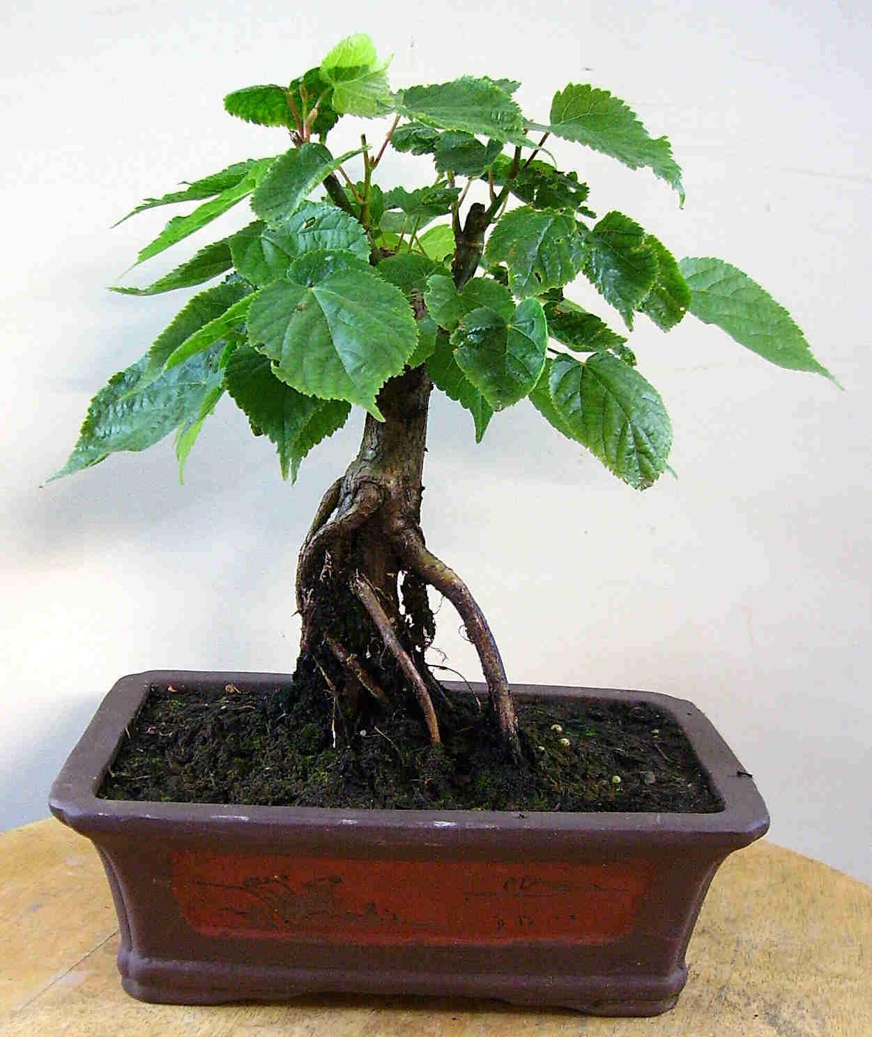 linde bonsai. Black Bedroom Furniture Sets. Home Design Ideas