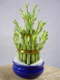 botanische experimente vorstellung gluecksbambus. Black Bedroom Furniture Sets. Home Design Ideas