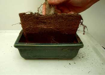 umtopfen carmens bonsai garten online shop f r bonsai. Black Bedroom Furniture Sets. Home Design Ideas