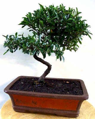 feuerdorn carmens bonsai garten online shop f r bonsai. Black Bedroom Furniture Sets. Home Design Ideas