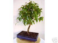 kirschmyrte carmens bonsai garten online shop f r bonsai. Black Bedroom Furniture Sets. Home Design Ideas